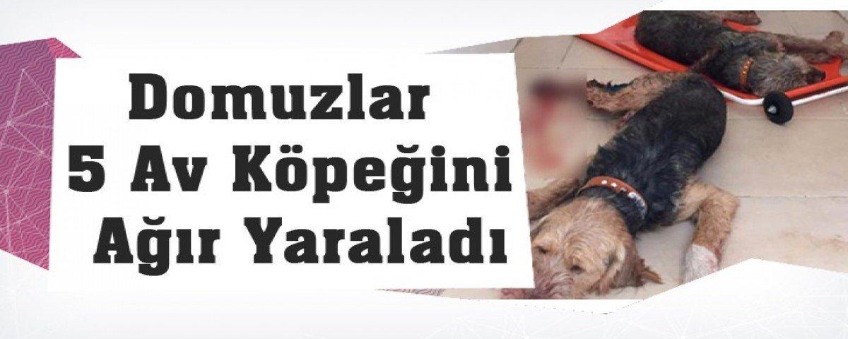 Domuzlar 5 Av Köpeğini Ağır Yaraladı