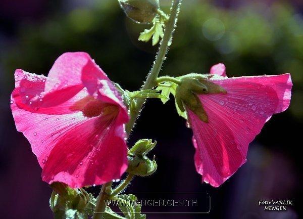 Mengen'den Çiçekler-Hüseyin VARLIK-