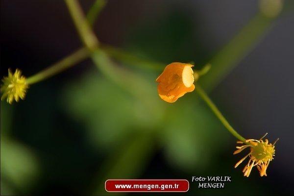 Mengen'den Çiçekler