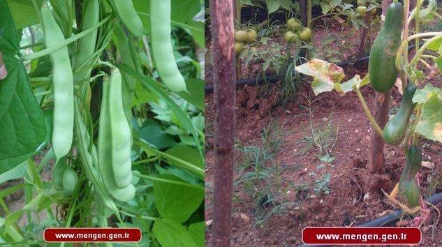 Mengen'de Okul Hobi Bahçeleri Ürün Veriyor