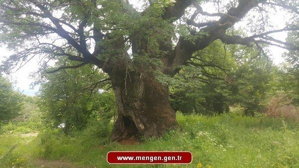Mengen'de anıt ağaçlar yıllara meydan okuyor…